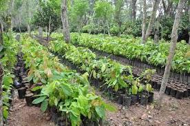 La Jornada - Rescatan productores de Tabasco y Chiapas al cacao de almendra  blanca